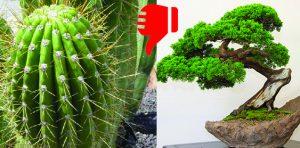 cactus et bonzaïs, très négatif en Feng Shui