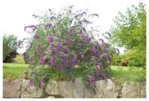 arbre a papillon feng shui